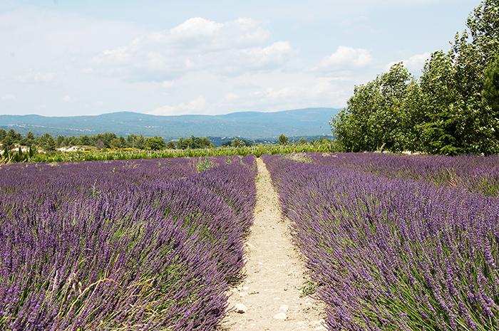 lavender-420028bis